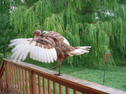 Heritage Turkeys Fly